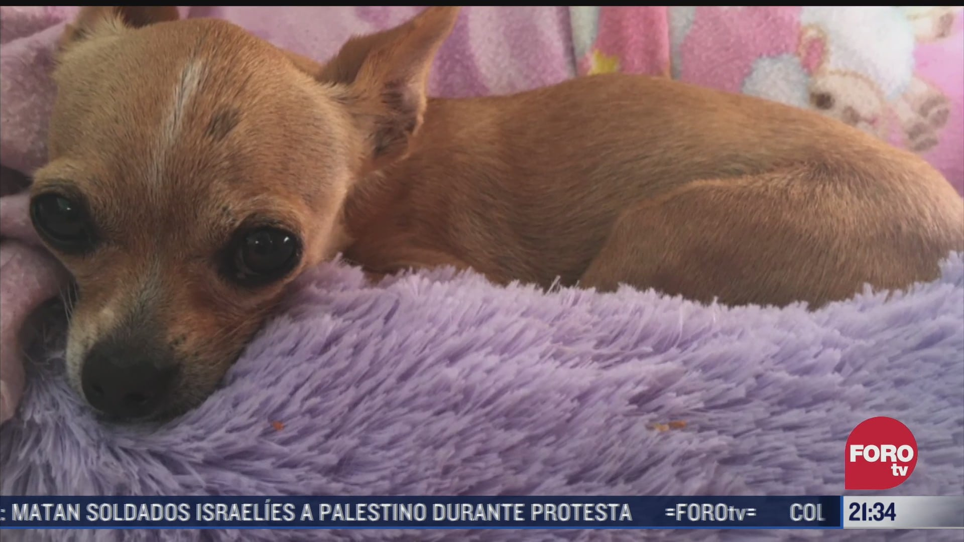 alertan por escasez de sangre y plasma para mascotas