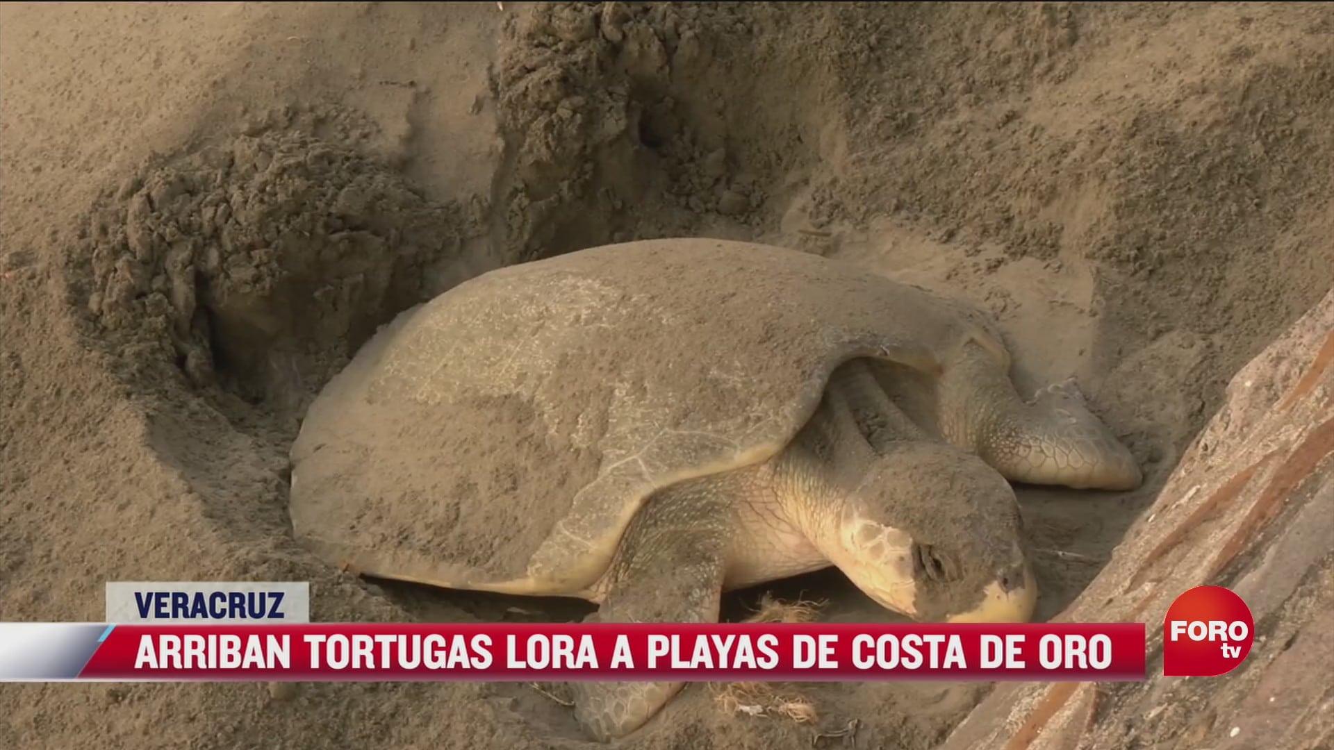 arriban tortugas lora a playas de costa de oro en veracruz