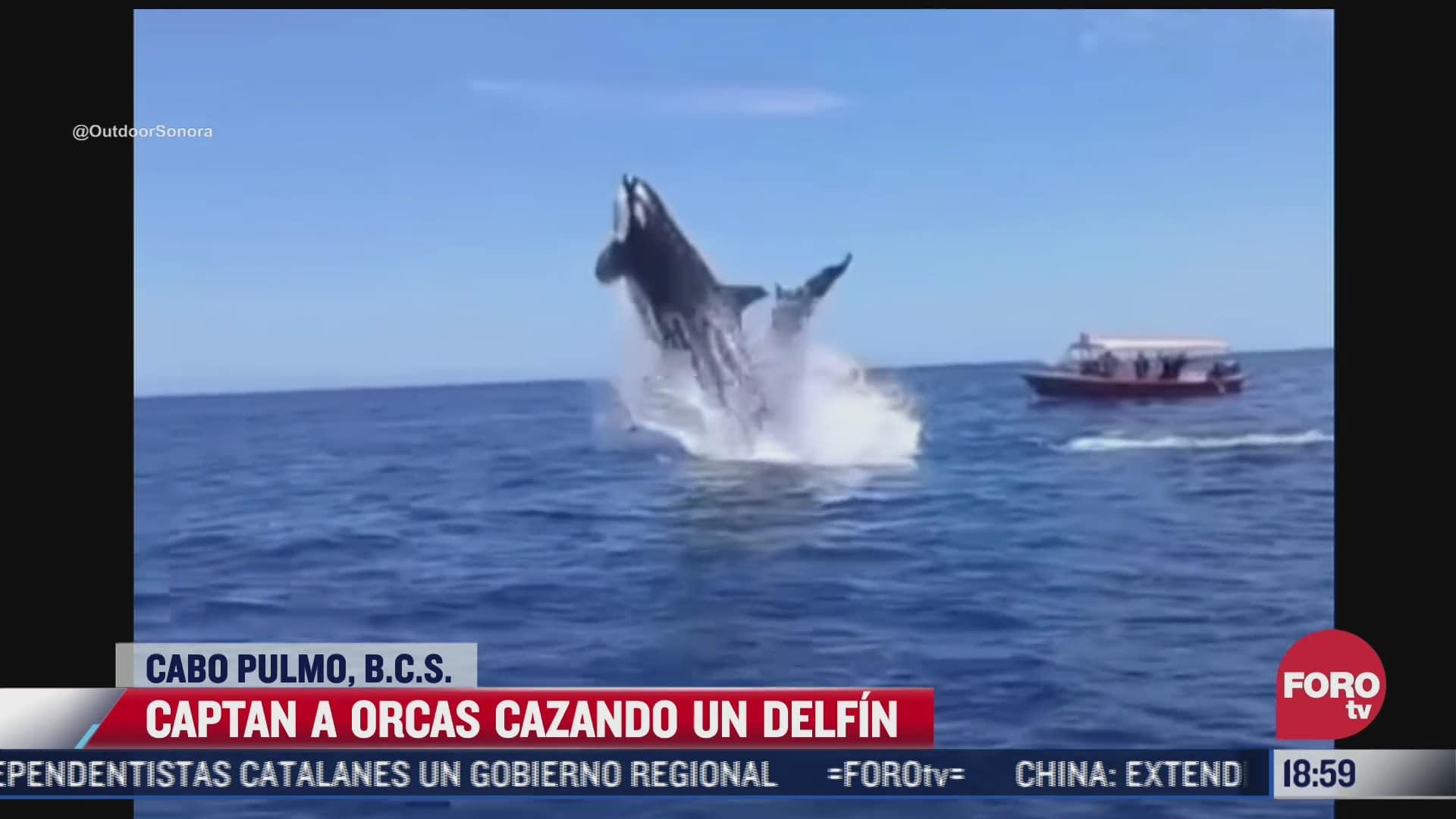 captan a orcas cazando a un delfin en cabo pulmo