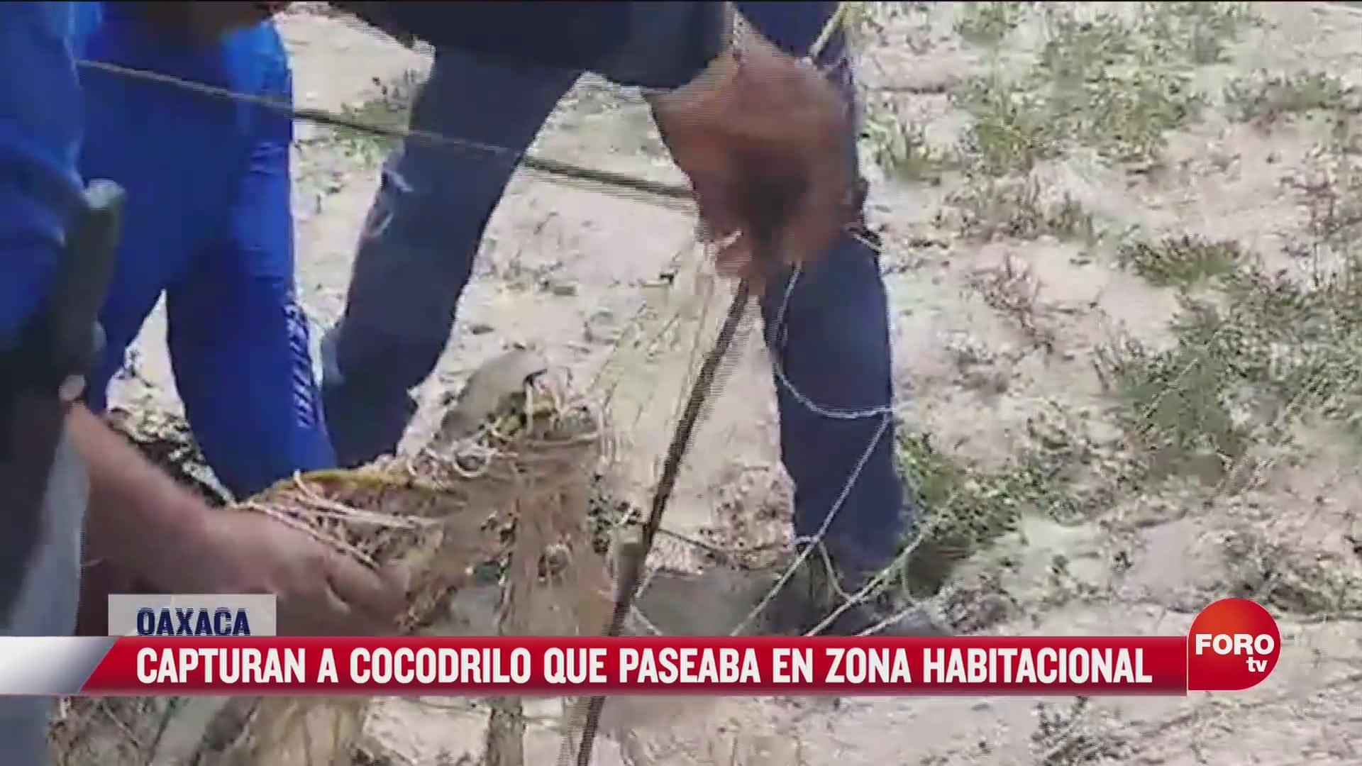 capturan a cocodrilo en zona habitacional en oaxaca