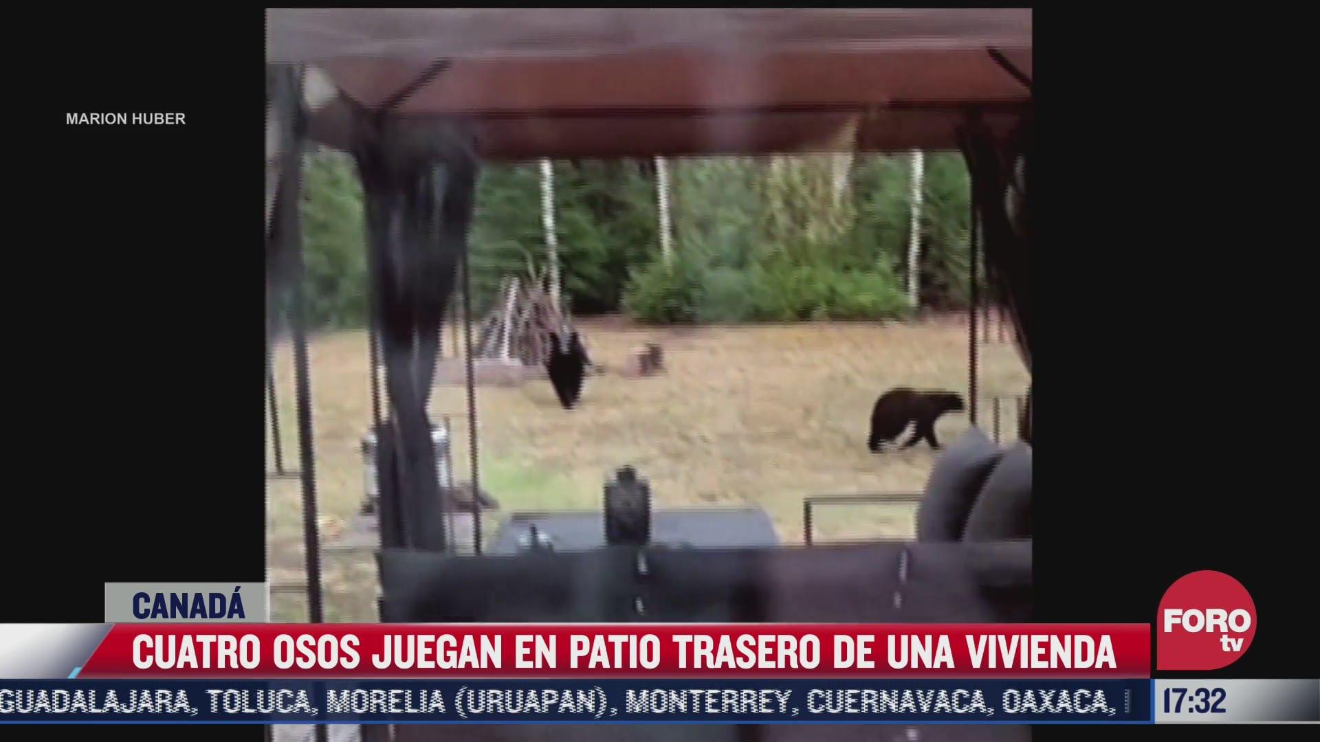 cuatro osos juegan en patio trasero de una vivienda en canada