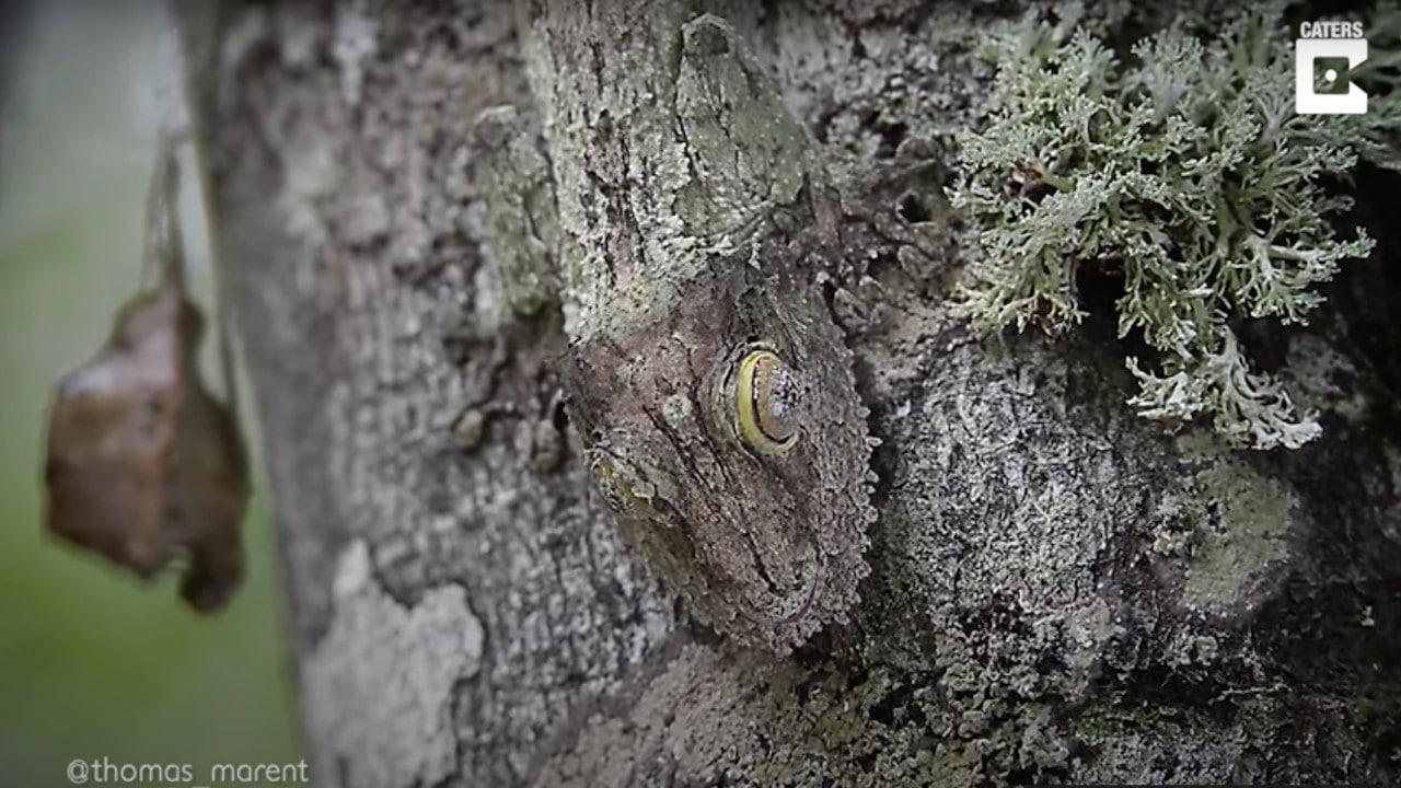 Geco se camuflajea en árbol
