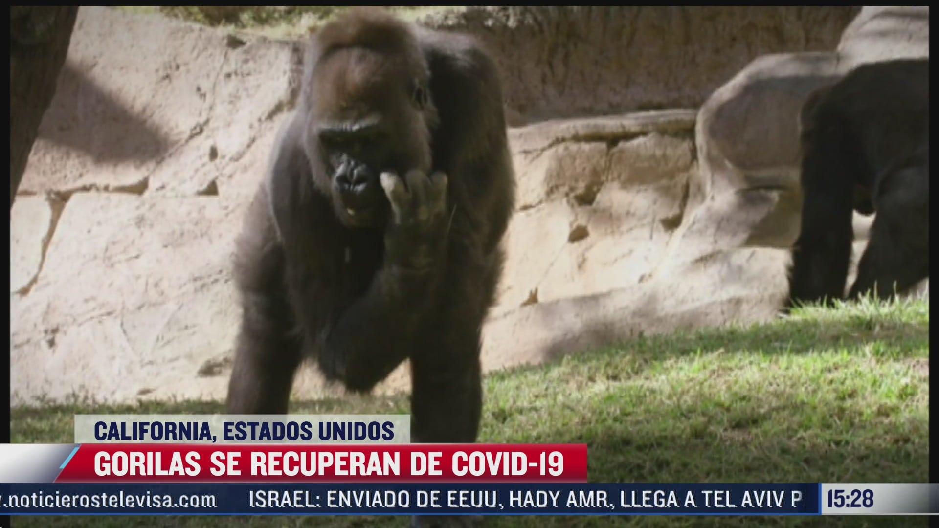 gorilas de zoologico de san diego se recuperan del covid