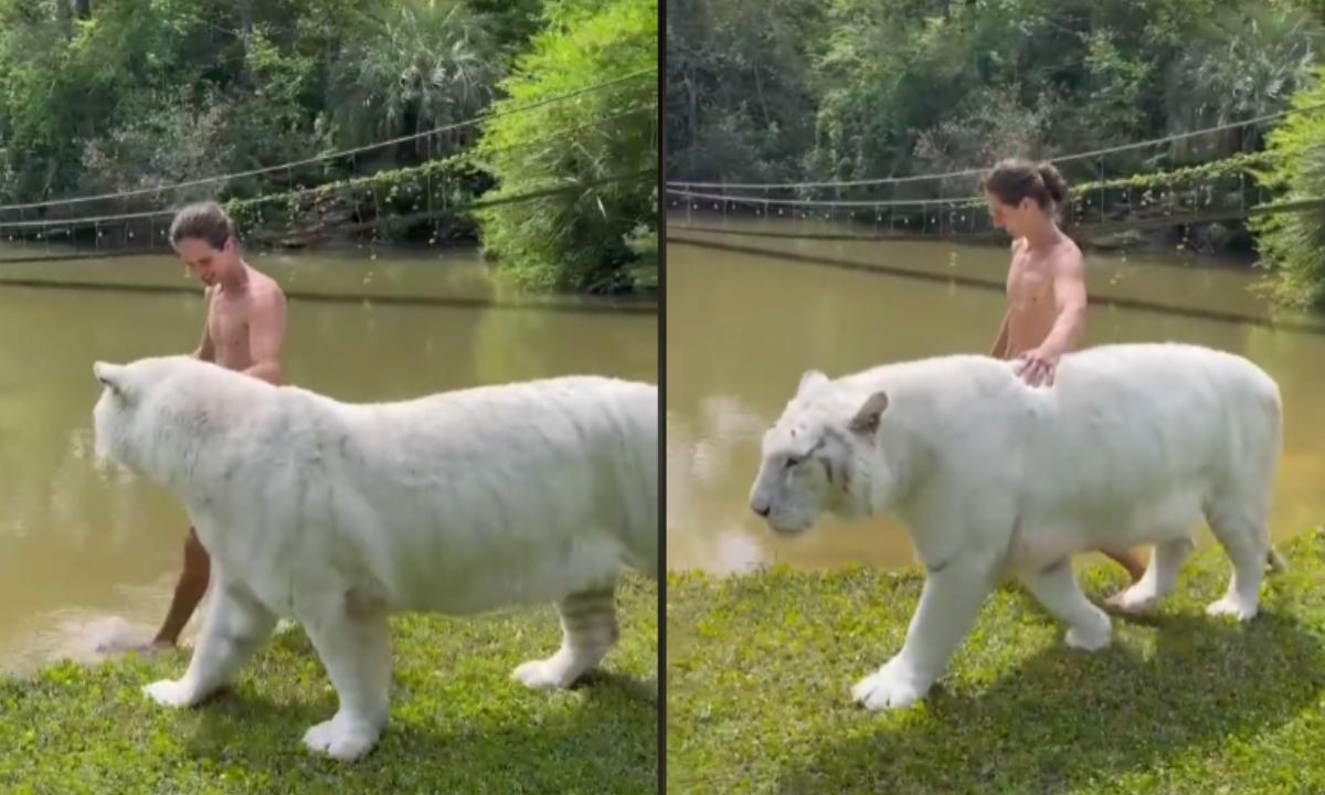 Video: Joven presume su amistad con tigre blanco en TikTok