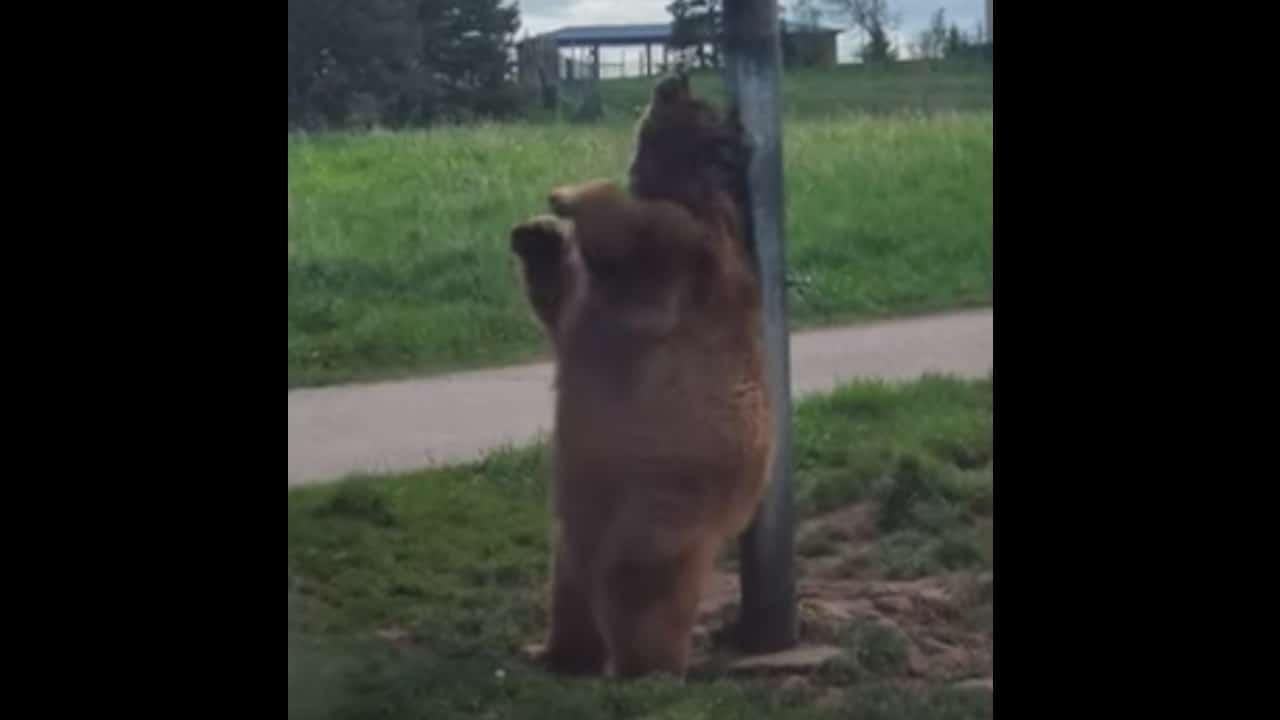Oso Baloo de la vida real es captado bailando