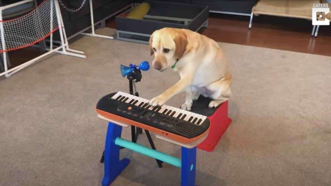 Perrita de terapia aprende a tocar instrumentos de música