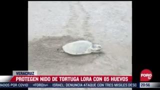 protegen nido de tortuga lora con 85 huevos en veracruz