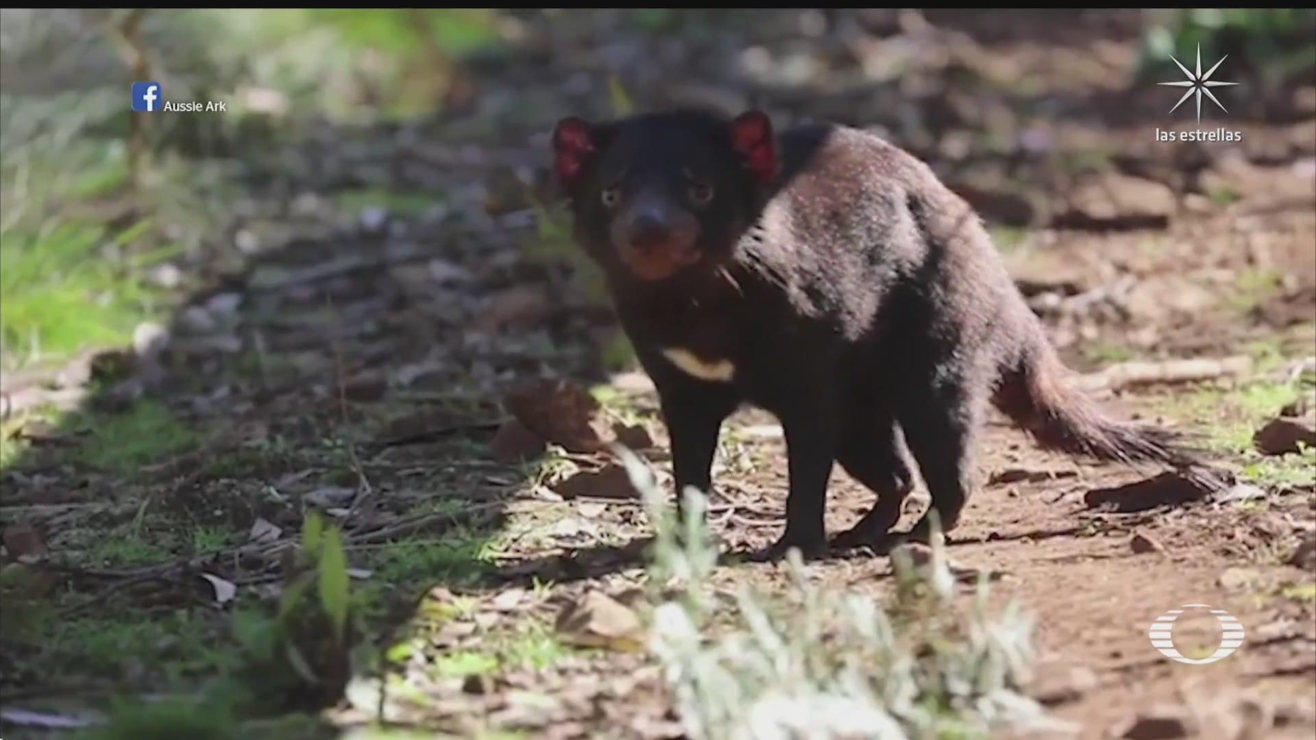 regresan los demonios de tasmania a australia