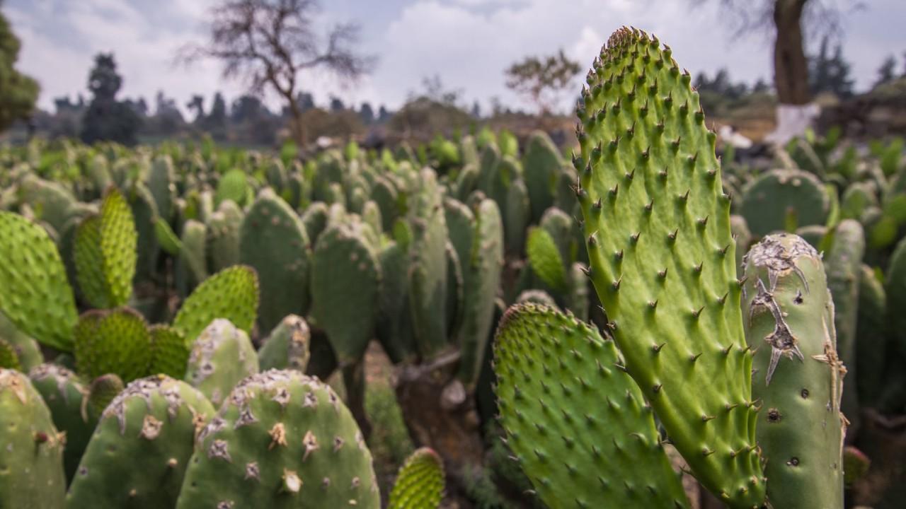 Sequía afecta a productores y campos de nopal en Milpa Alta