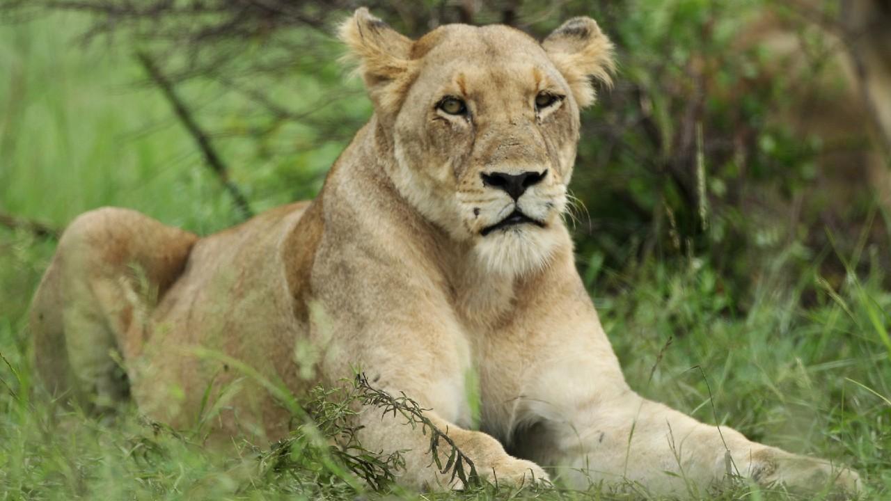 Sudáfrica prohibirá criar leones para caza y turismo