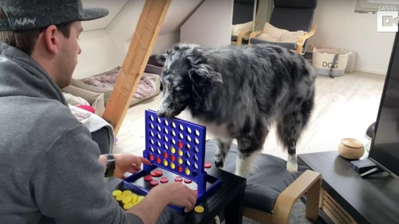 Video: Perrito participa en juego de mesa con su dueño