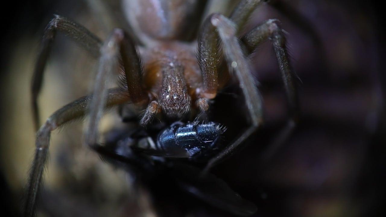 Araña violinista: ¿Cómo evitar que entre a mi casa?
