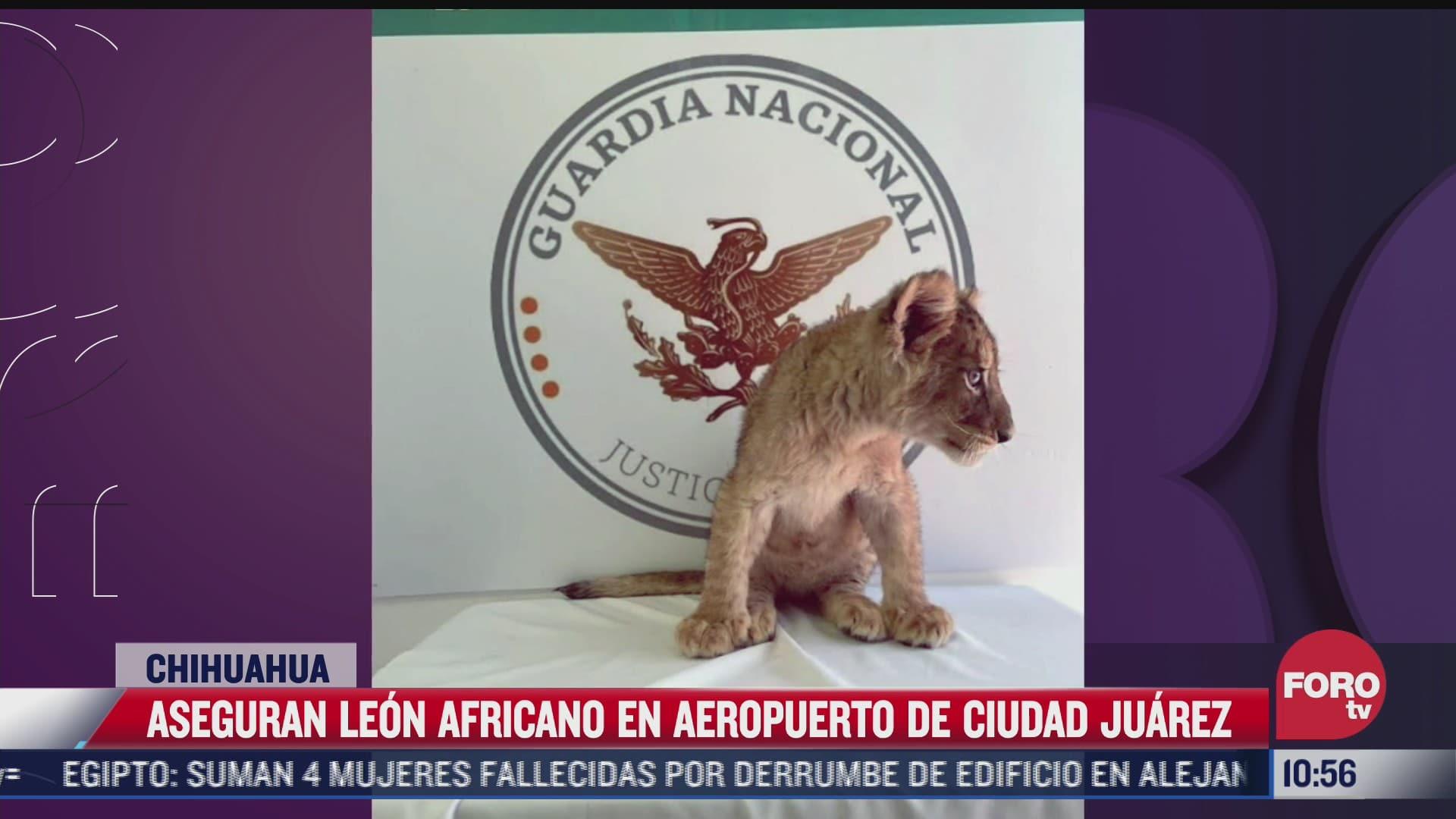 aseguran a leon africano en chihuahua