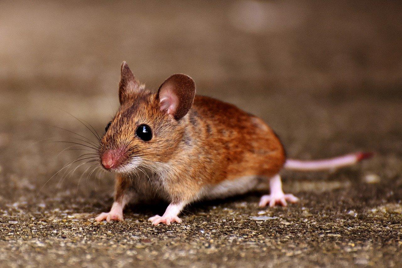 Australia sufre peor plaga de ratones en una década