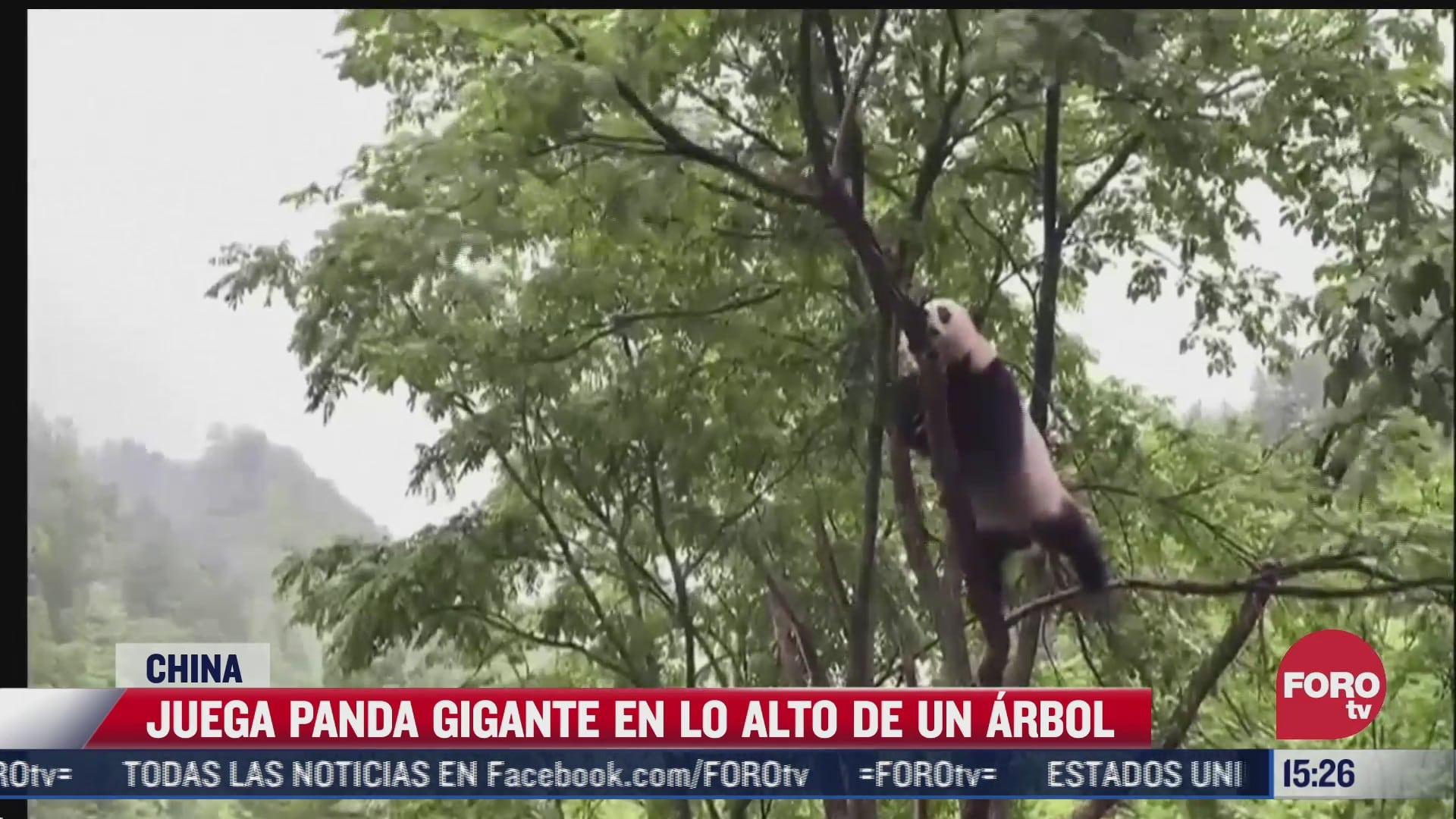 captan a panda mientras juega en lo alto de un arbol en china