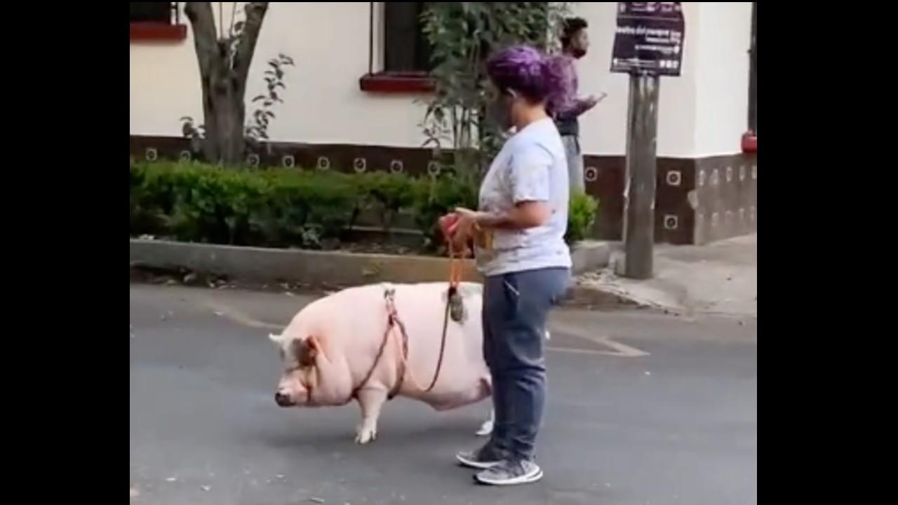 Captan a cerdo paseando como si fuera un perrito en calles de la CDMX