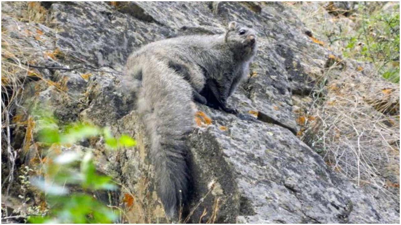 Descubren nuevas especies de ardillas voladoras en el Himalaya
