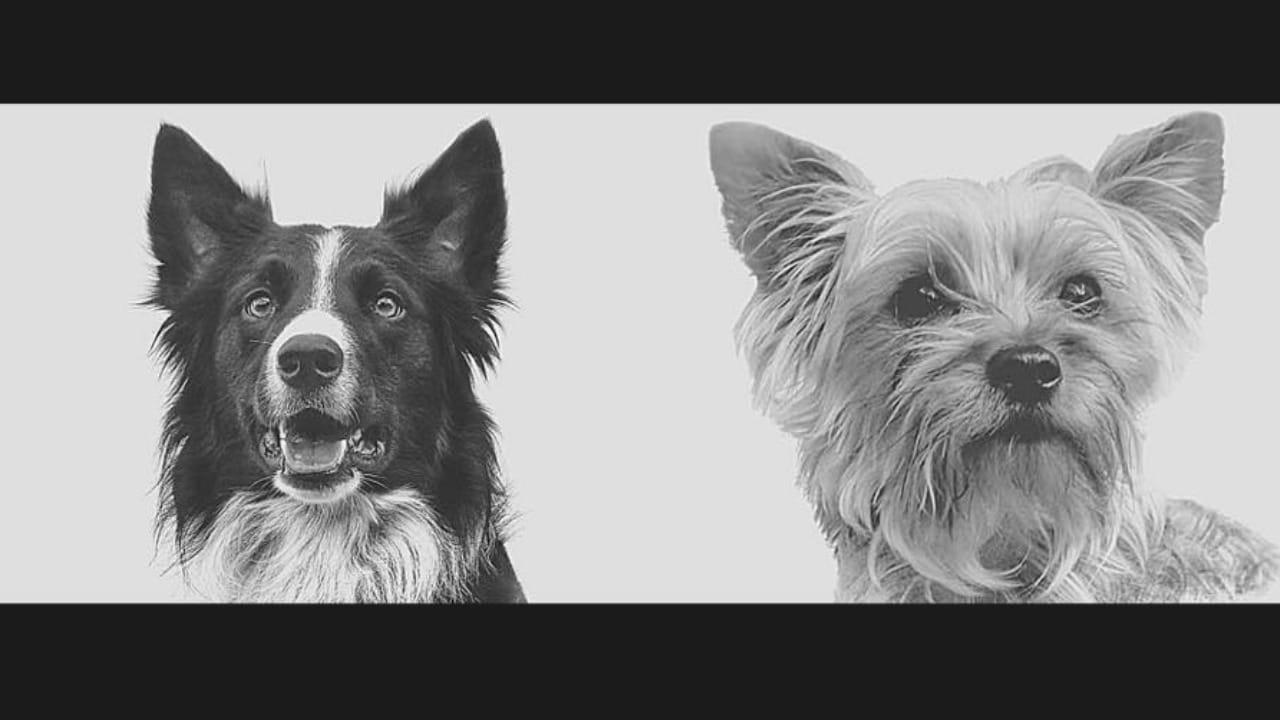 Perros Rescatistas Envenenados Athos Tango