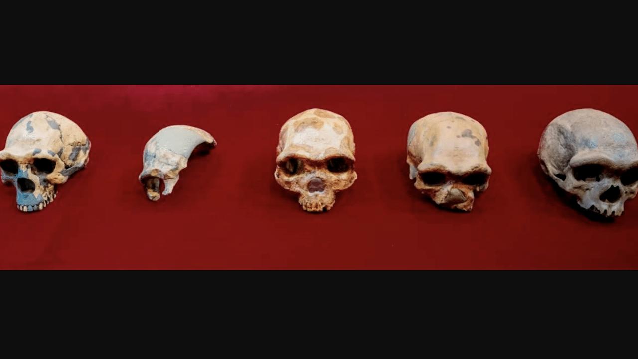 Cráneo Harbin Homo Longi Hombre Dragón