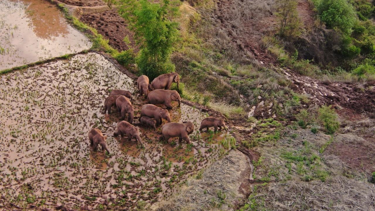 Elefantes hacen pausa en espera de ejemplar que se separó