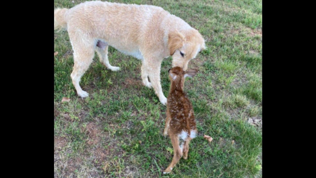 Perrito salva a ciervo; se vuelven amigos inseparables