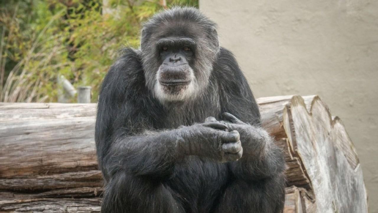 Muere Cobby, el chimpancé más viejo en cautiverio de EEUU
