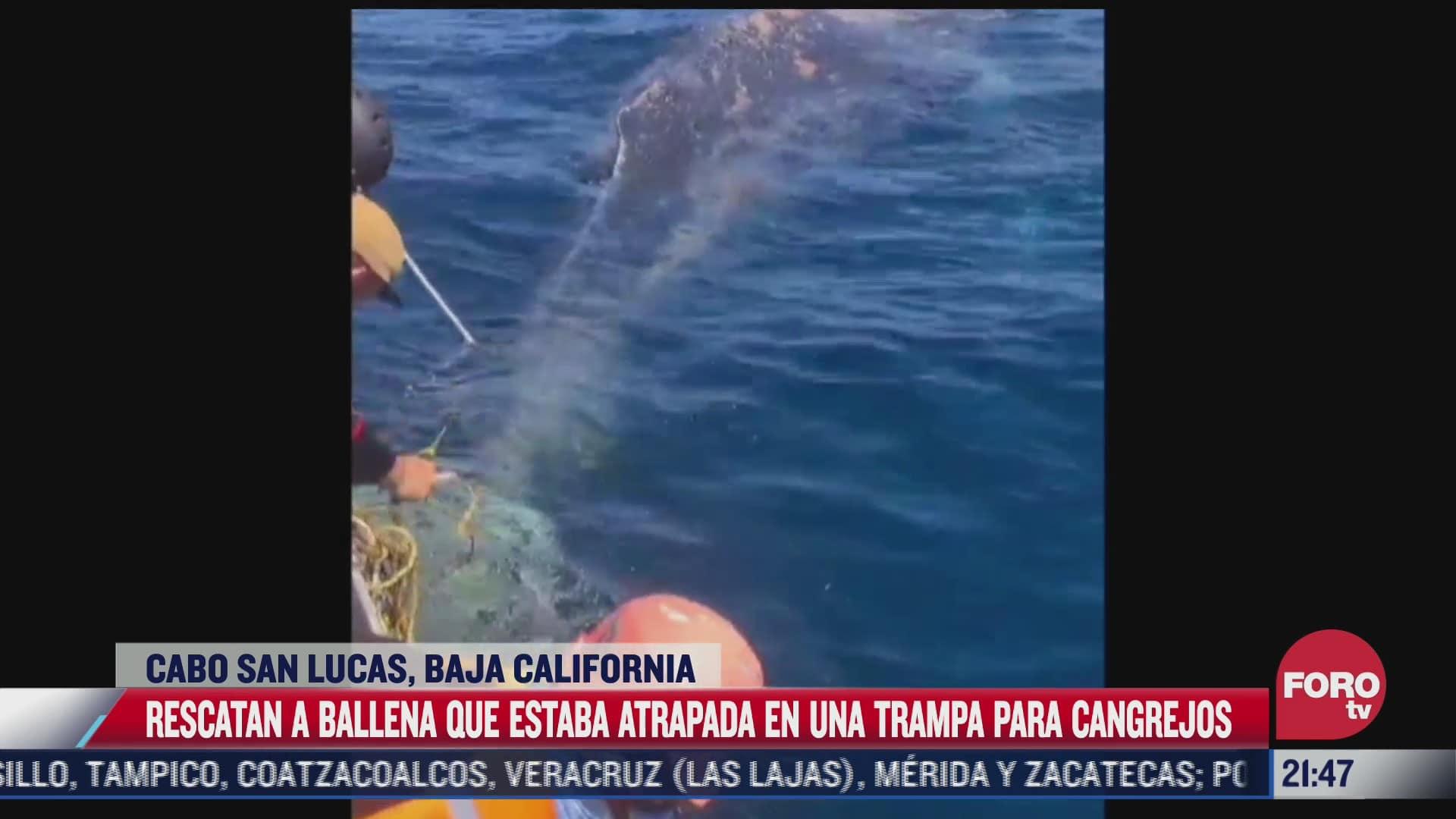 rescatan a ballena enmallada en bahia del cabo baja california sur