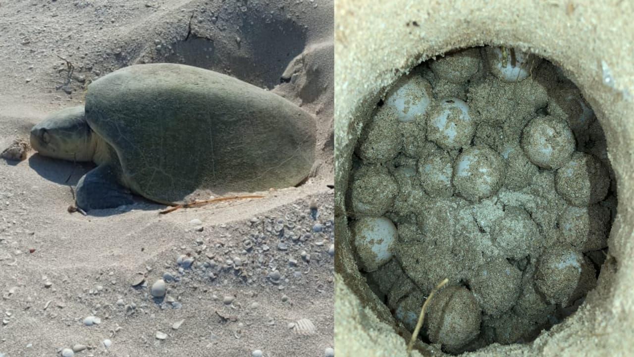 Saquean nidos de tortugas en Yucatán; refuerzan seguridad