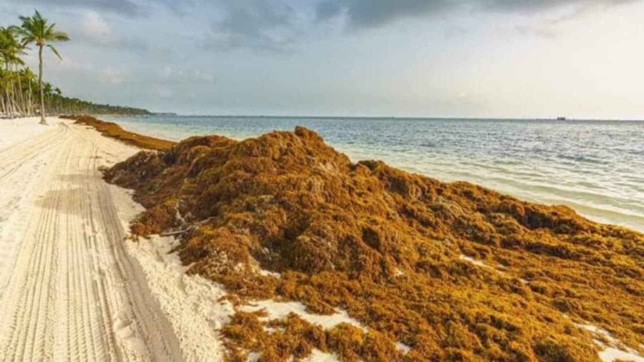 Toneladas de sargazo llegaron a Yucatán; realizan labores para retirarlo