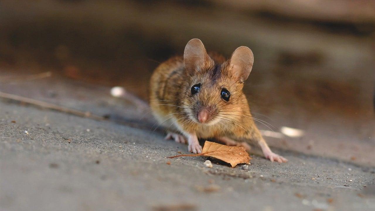 roedores, ratones, hantavirus, enfermedades