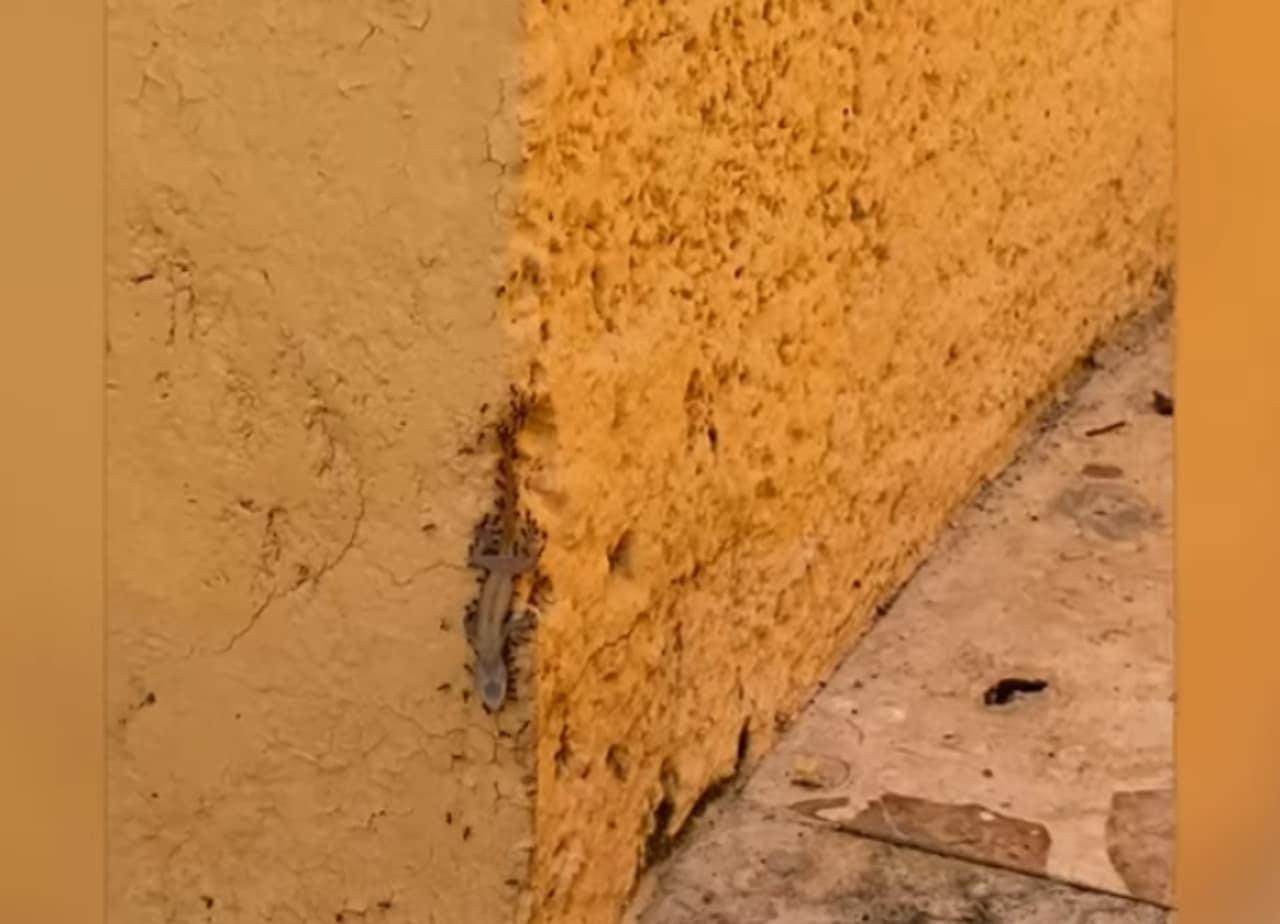 Video: Hormigas hace equipo para cargar cadáver de lagartija