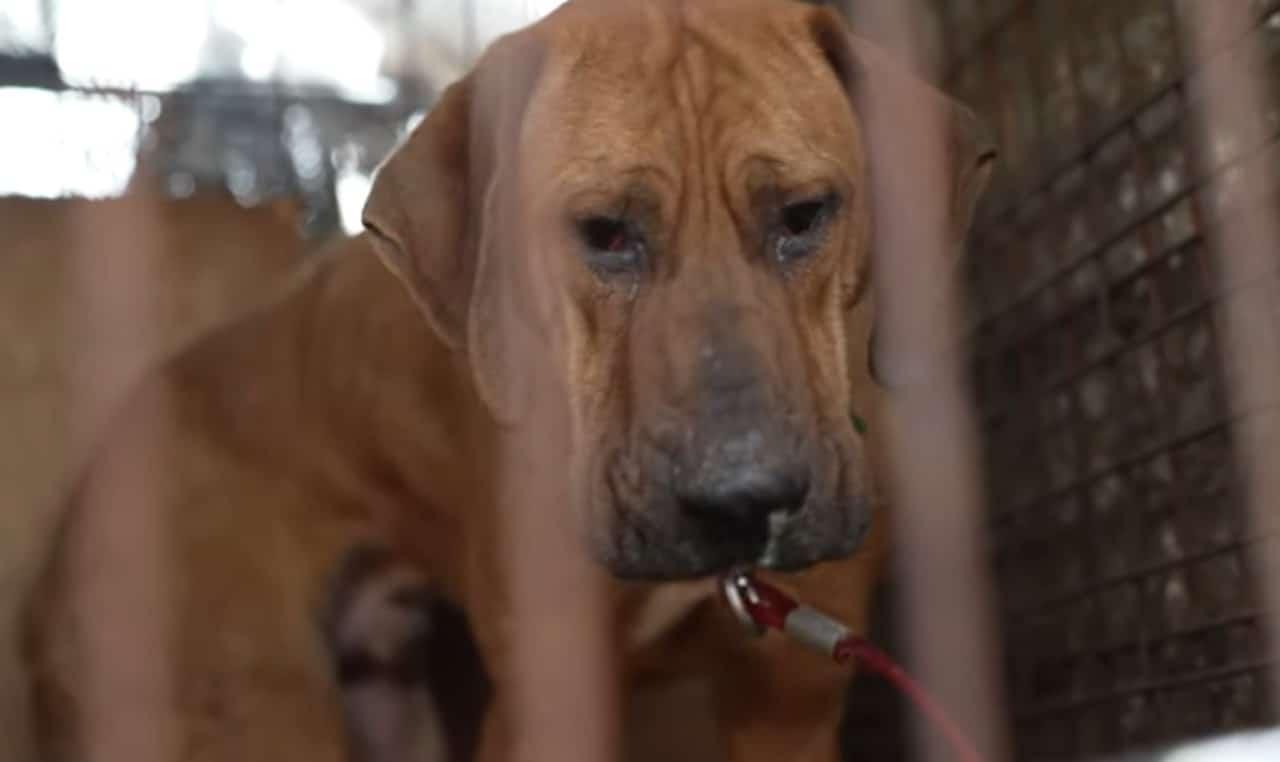 Video: Perro rescatado de matadero en Corea del Sur llora
