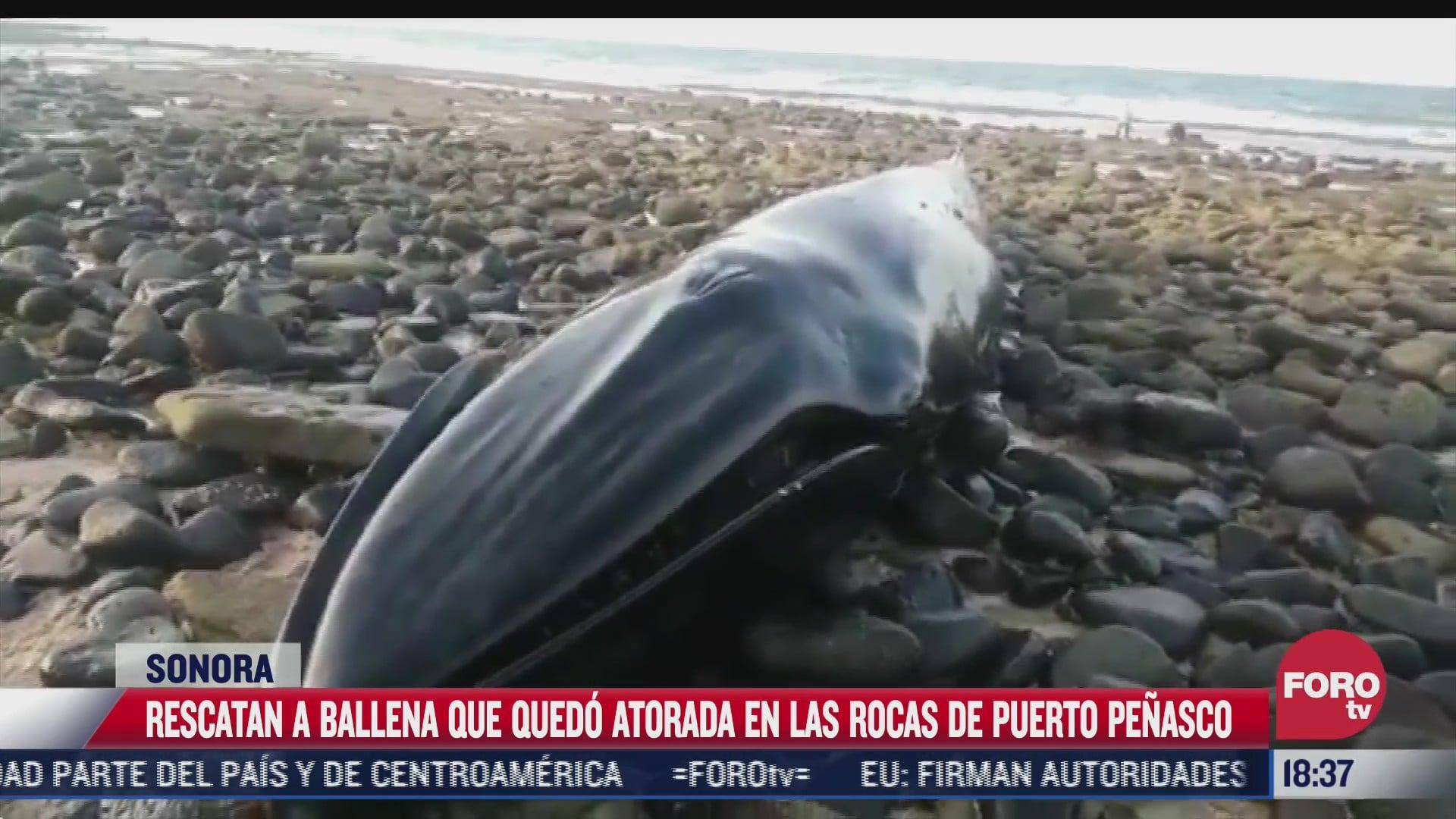 ballena gris es rescatada en puerto penasco sonora