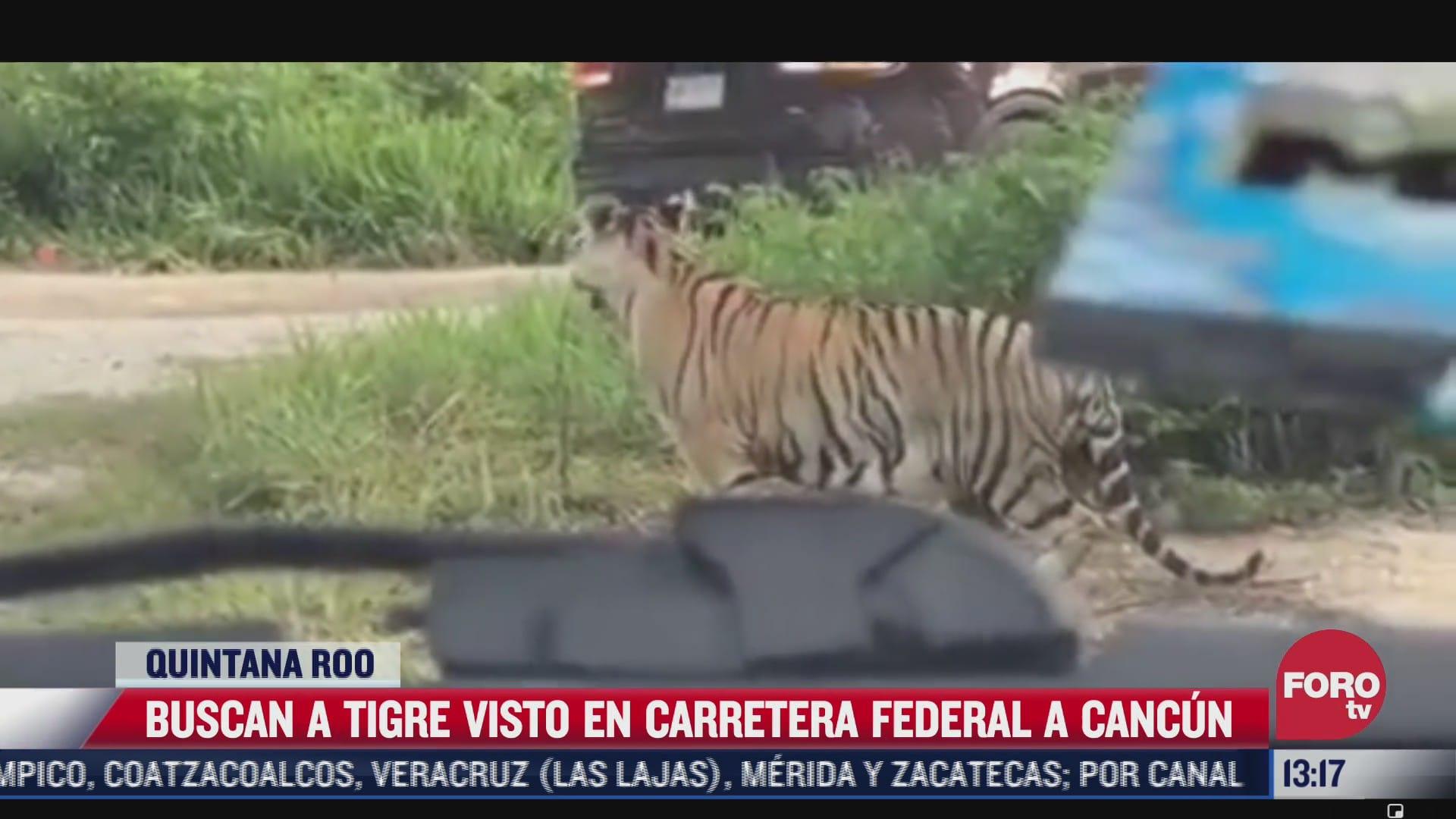 buscan a tigre visto en carretera federal a cancun