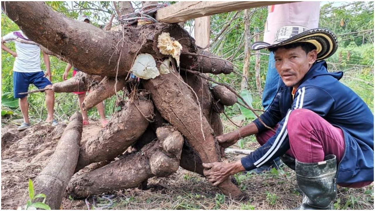 Campesino logra cosechar yuca de 56 kilos en Montería, Colombia