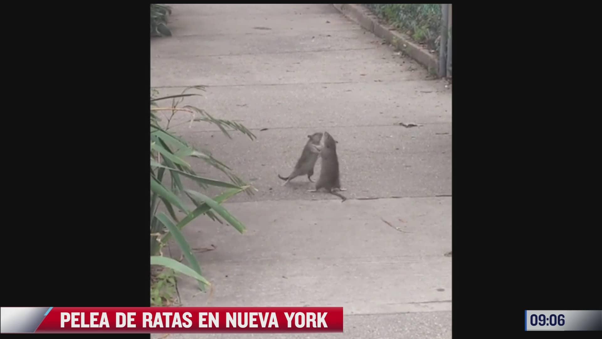 captan pelea de ratas en ny