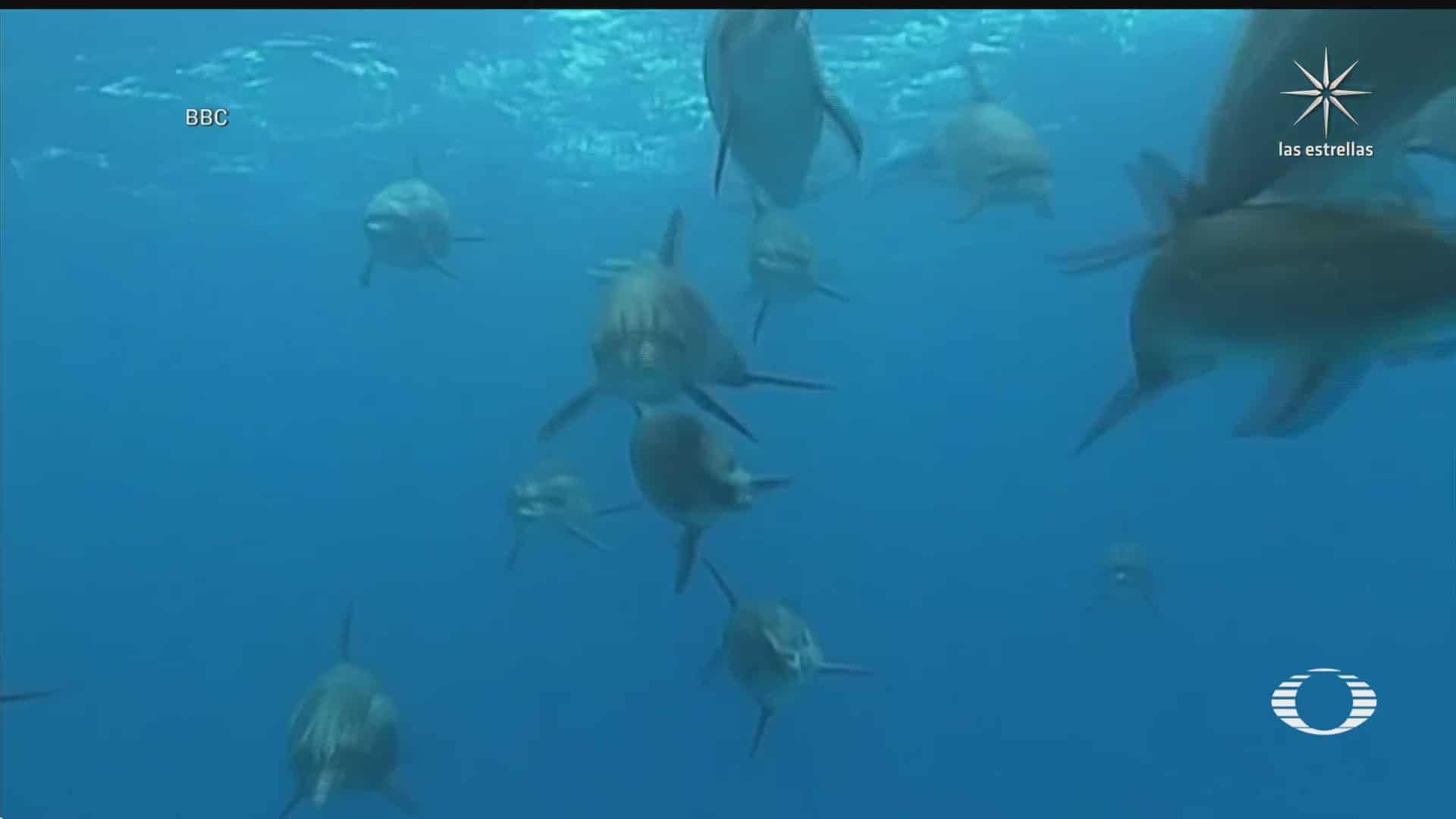 descubren que delfines se sincronizan para dar volteretas