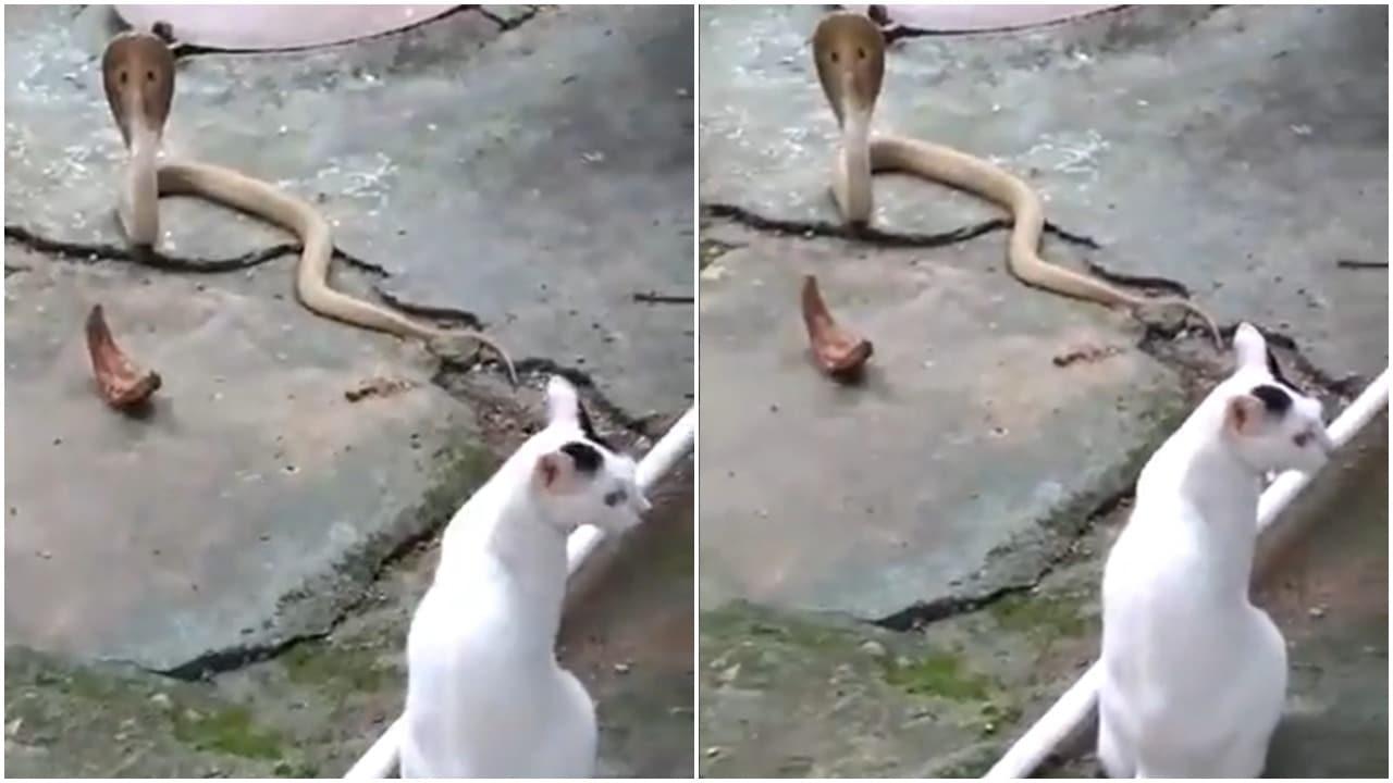 Gato enfrenta a cobra y evita que entre a su casa en India, video
