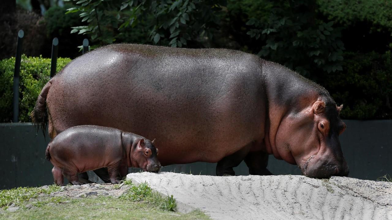 Bebé hipopótamo es la nueva atracción del zoológico de Guadalajara