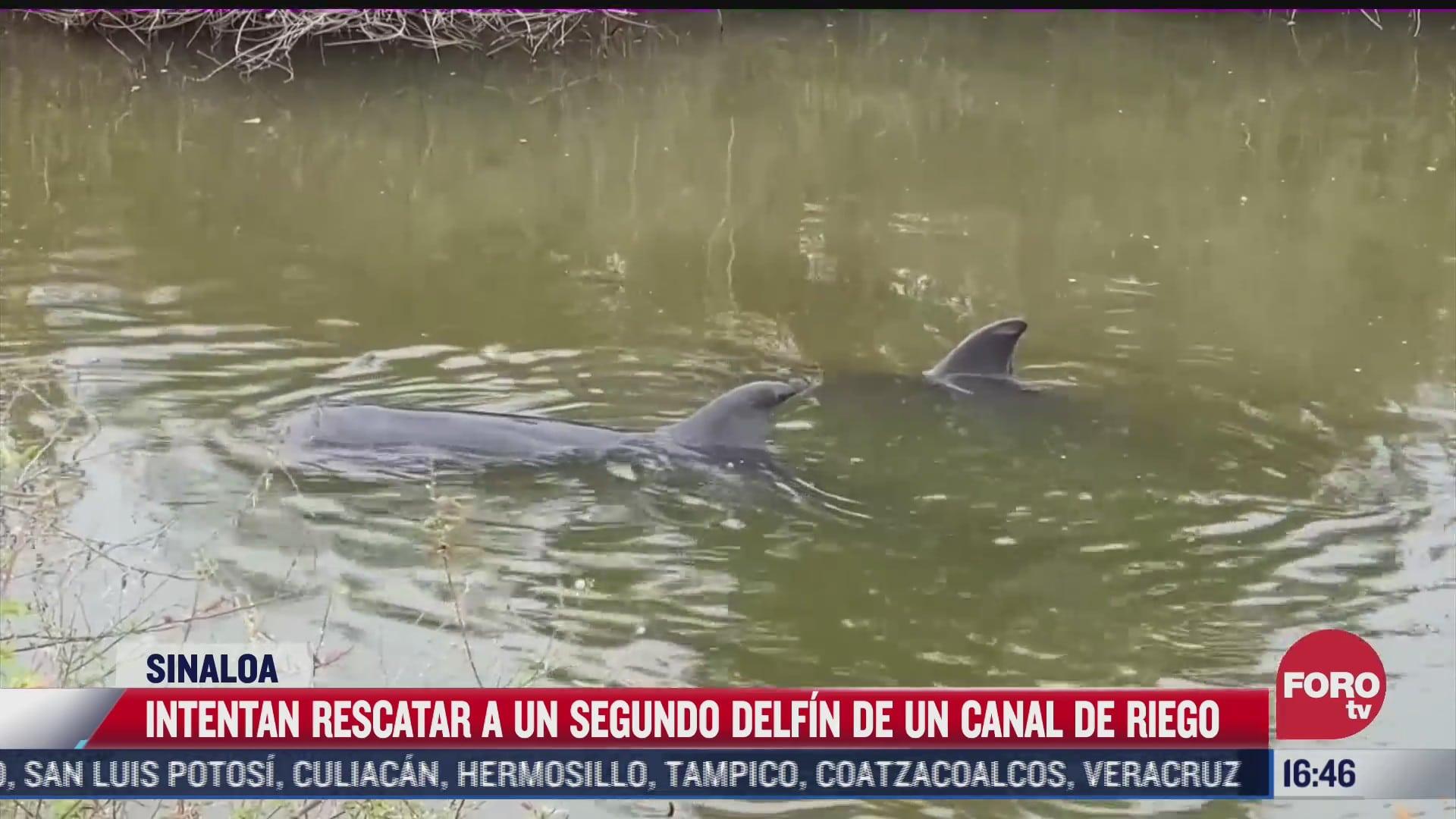 intentan rescatar a delfin atrapado en canal agricola en sinaloa