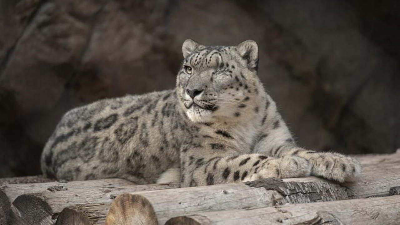 Leopardo no vacunado en Zoológico de San Diego contrae COVID