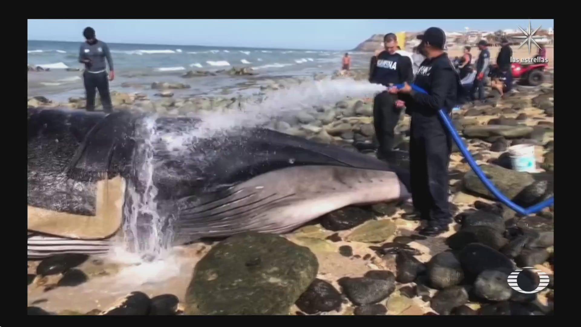 liberan a ballena gris en puerto penasco sonora