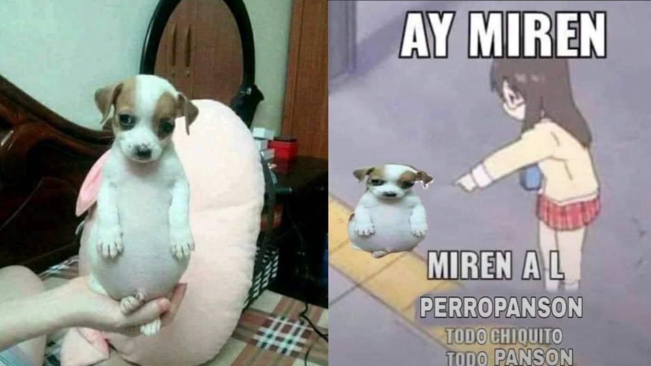 perro panzón, memes, redes sociales, sobrepeso, mascotas