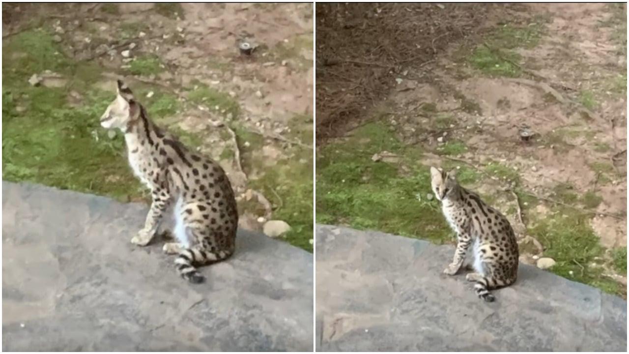 serval, gato salvaje, Atlanta, animales salvajes, captura de pantalla