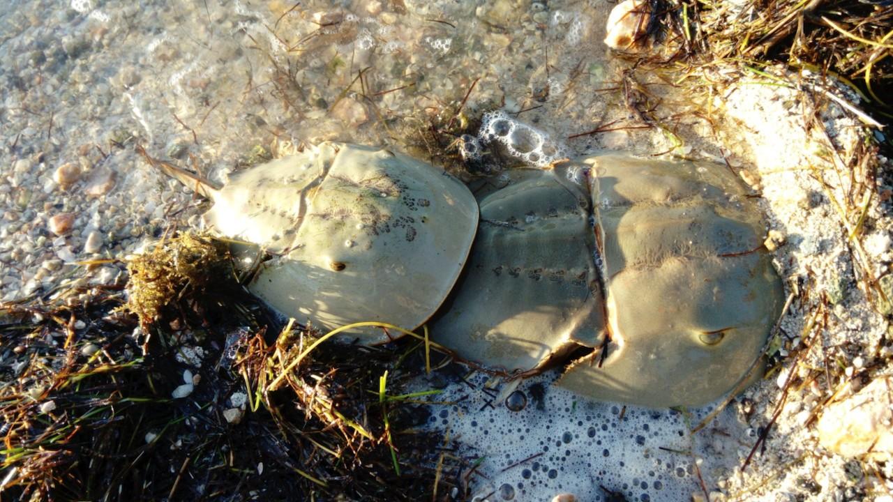 Cacerola de mar, especie de cangrejo en humedales de Yucatán (Twitter: @AnaJosefaLopSan)