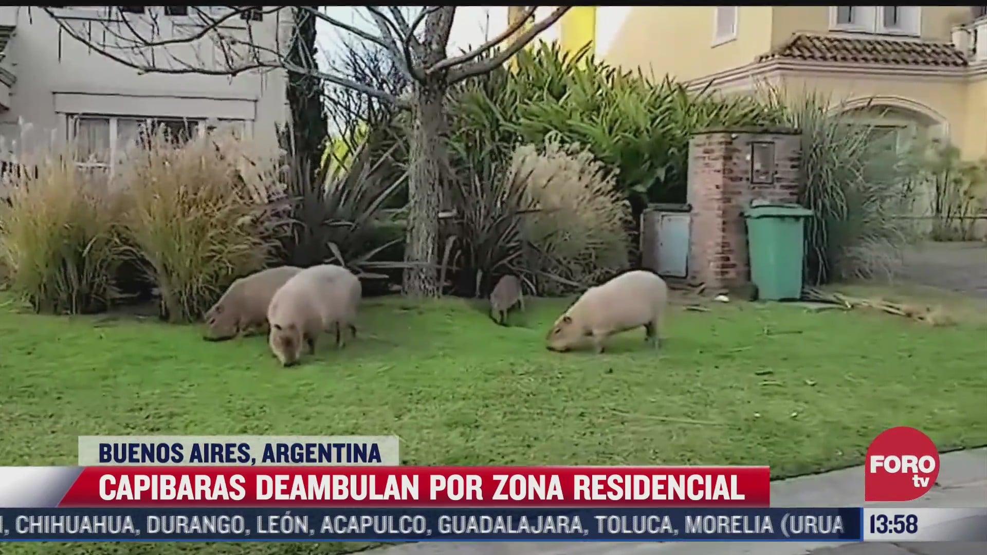 capibaras deambulan por zona residencial en argentina