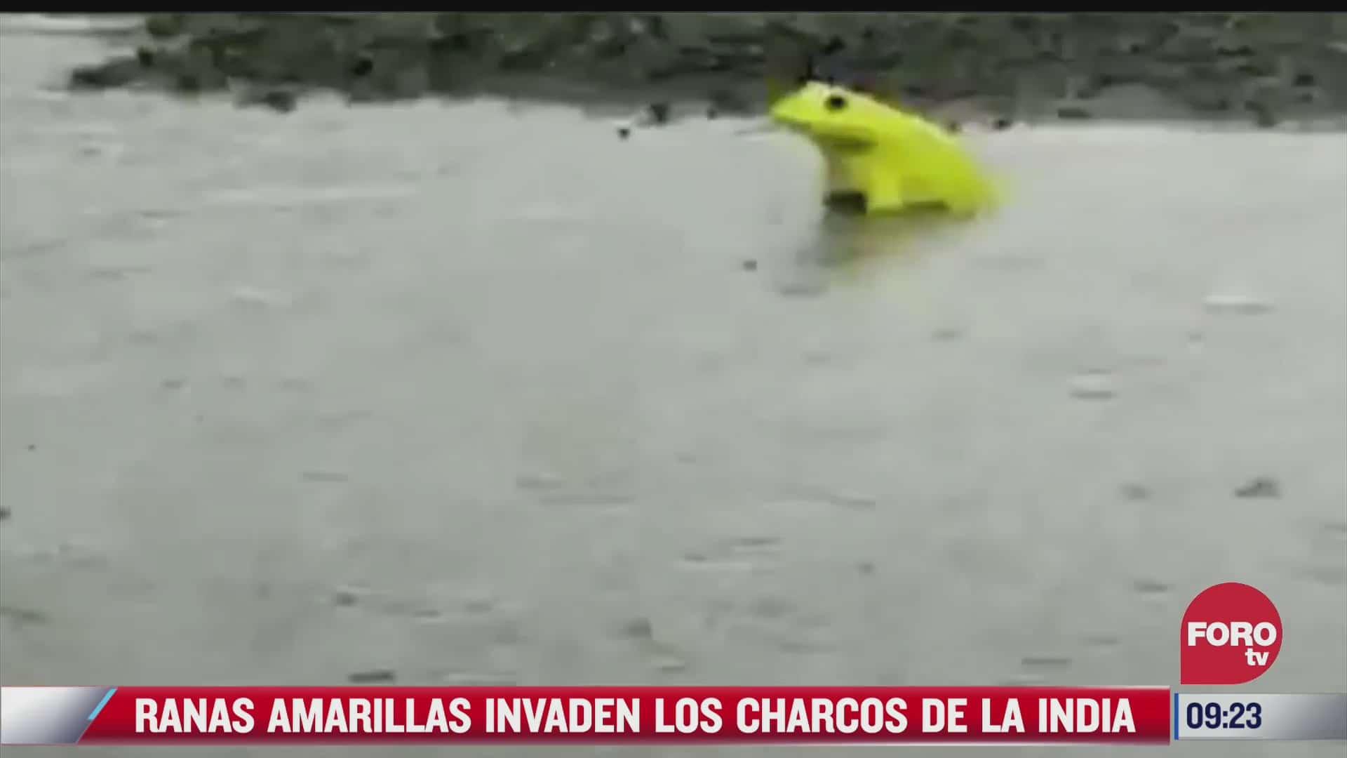 captan a ranas amarillas chapoteando en charcos
