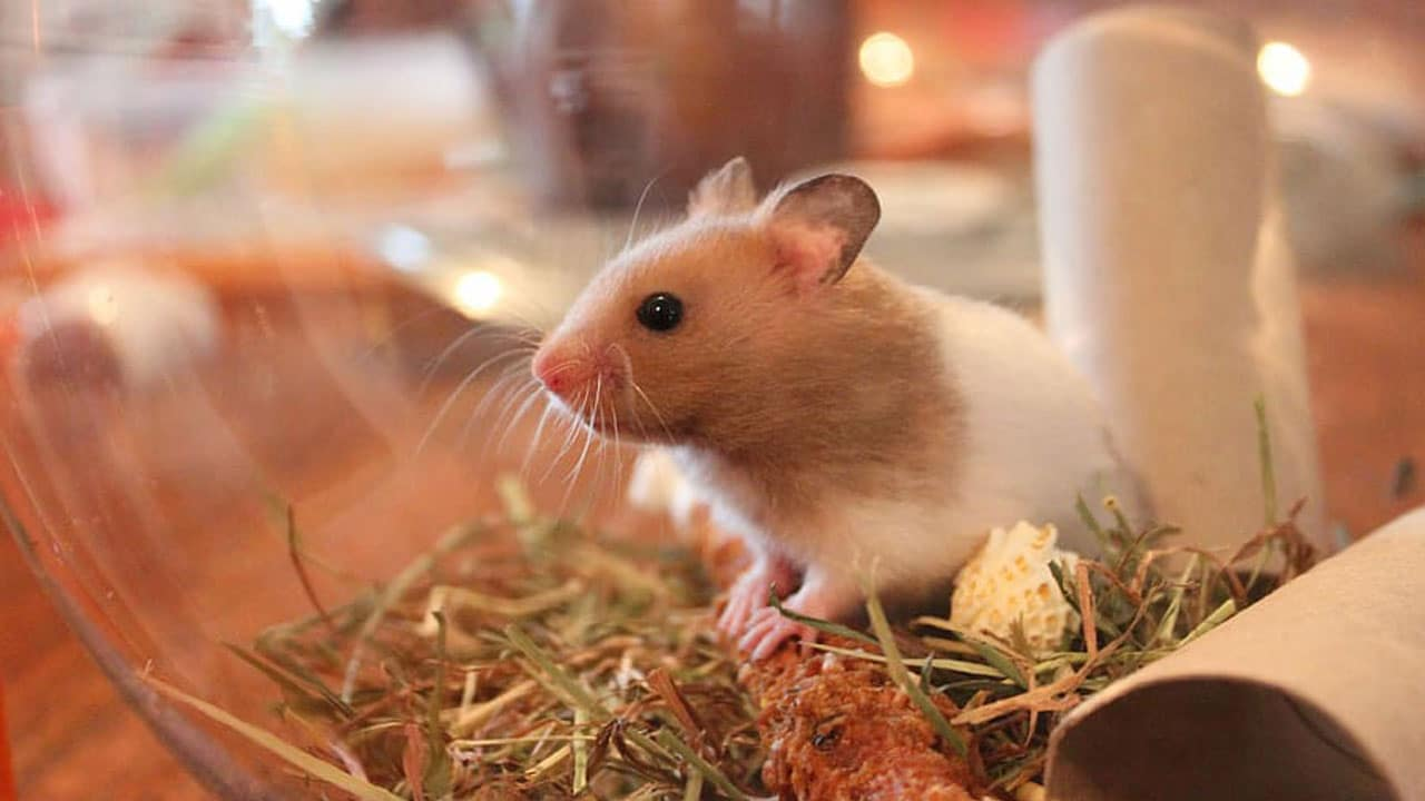 COVID-19 Estudio revela variante Beta afecta a ratones