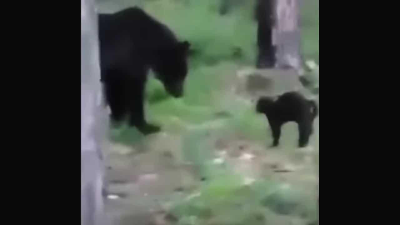 Video: Gato enfrenta a oso para defender a su familia