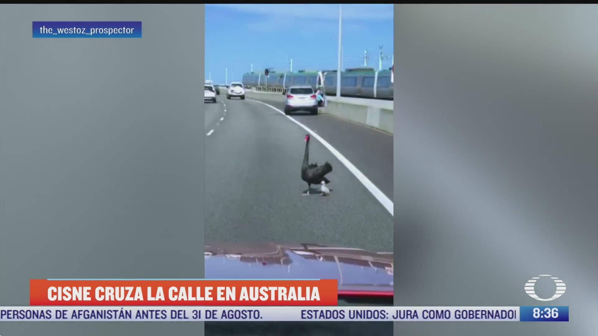 graban a cisne y su cria cruzando la calle
